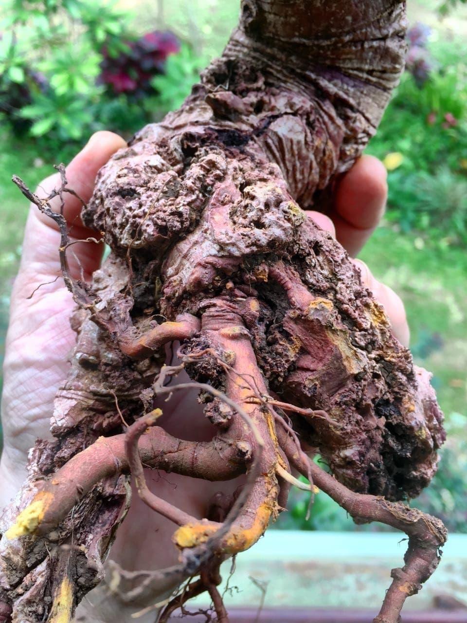 Wild Noni Root